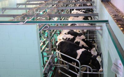 Leche de vaca y… ¿salud?